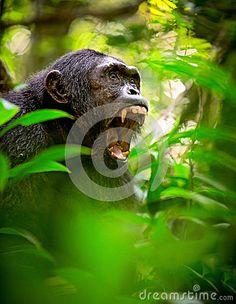 Krzyczący dziki szympans lub szympans