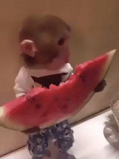 monkey eating watermelon on @gfycat #cuteness #pets #animals