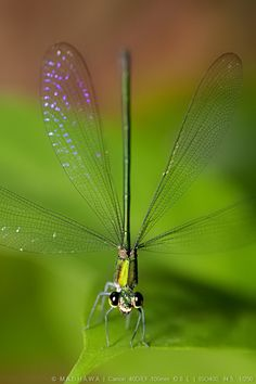 Dragonfly with transparent wings