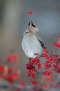 Berry cool photo of a Bohemian waxwing by Christian Chevalier
