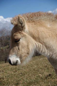 Norwegian Fjord Horse - my beautiful Bea Fjord Horse, Donkeys, Norway, Waterfall, Horses, Painting, Animals, Beautiful, Baby Horses