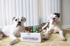 """Living with 2 boxers is VERY entertaining especially if you have kids too! Always doing something silly, laying in a funny position, running and barking in their sleep. Oh and playing peek a boo with the neighbors dog.Chopper and Winter's favorite activity/hobbies are hiking, running (we ride our bikes while they run next to us) and cuddles!   The thing I love most about Chopper and Winter is how sweet and caring they are especially towards my kids."""