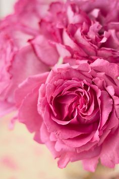 Yves Piaget Rose. Order David Austin Roses and other scented garden Roses in our easy order webshop www.parfumflowercompany.com