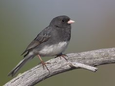 Dark-eyed Junco (Slate-colored) — These migrate to our yard in Virginia every winter. Love their pink beaks!
