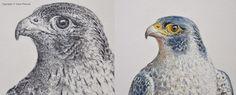Falcon Adam Poltorak