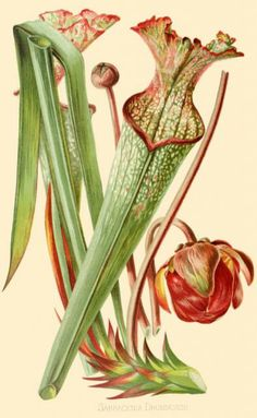Pitcher plant drawing - photo#28