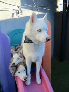 "gaytectives: "" gaytectives: "" at work we have a family of three huskies who come in for daycare and everyone calls them ""the mafia"" it makes me so happy because occasionally out of nowhere someone..."