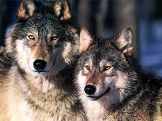 Google Image Result for http://howlingforjustice.files.wordpress.com/2010/05/two-wolves.jpg