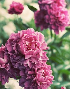 peonies .... love this colour <3