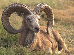 Argali, a mountain sheep that romas the highlands of central Asia (Himalaya, Tibey, Altay) -Image from http://rt.com/files/news/prime-time/poaching-russia-highranking-officials/argali.jpg.