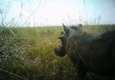 Warthog eating.