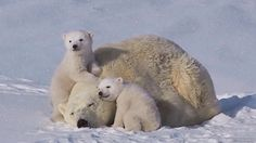What's more, in certain animal groups, females work together to help raise a new baby. Description from whitewolfpack.com. I searched for this on bing.com/images