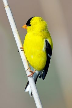 The goldfinch song is a sweet, high-pitched warble similar to a canary's song, and is sung by males from an exposed perch. A light, gentle twittering can be heard throughout the year as the birds fly overhead, heard on the upswing of their bouncy flight.