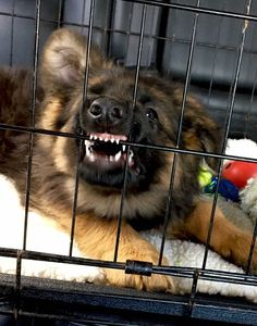 Puppy GSD learning dental hygiene early in life.