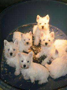 Sweet Westie Puppies
