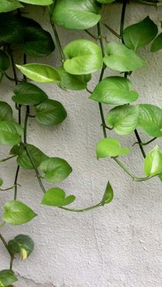Money plant, due to its heart shape & growing power, is regarded as a bringer of wealth and happiness.