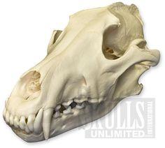 Gray Wolf Skull (Natural Bone Quality A) Skulls Unlimited International Dog Anatomy, Skull Anatomy, Skeleton Anatomy, Anatomy Art, Crane, Skulls For Sale, Skull Reference, Drawing Reference, Dog Skull