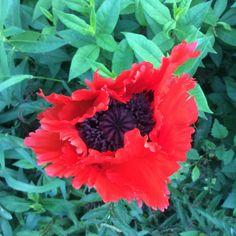 May, 2015 perennial poppy 'Turkenlouis'