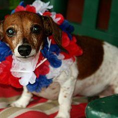 jesup, Georgia - Dachshund. Meet BELLA, a for adoption. https://www.adoptapet.com/pet/22476535-jesup-georgia-dachshund