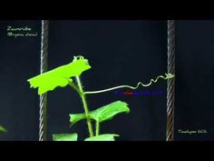 Twining motion of vines Creepers Plants, Guava Fruit, Toolbox, Dancing, Youtube, Watch, Dance, Tool Box, Clock