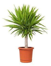 picture of pot plant - Yucca Potted Plant isolated on a white background - JPG