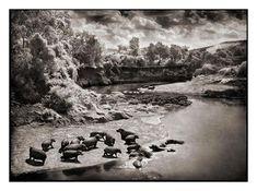 Hippos on the Mara River, Maasai Mara 2002, Nick Brandt