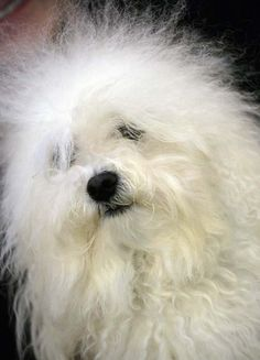 Bolognese Dog Bolognese Puppies, Bichon Frise, White Dogs, Small Dogs, Dog Love, Bichons, Bad Hair, Bologna, Pets