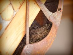 Birds nest in the cordwood house ( in a motorcycle fender ) Nest, Birds, Motorcycle, Flooring, Wall, House, Style, Timber Flooring, Nest Box