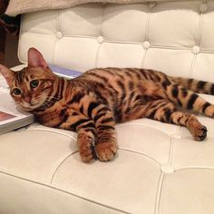 Pippa the Toyger Toyger Kitten, Bengal Kitten, Puppies And Kitties, Cats And Kittens, I Love Cats, Cute Cats, Bear Puppy, Exotic Cats, Cat Photography