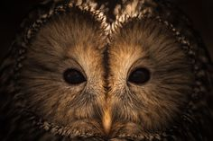 owl print, owl face, owl photography, owl eyes photo, bird nature wall art, owl home decor, nursery art, office decorations, le chat huant on Etsy, $200.00