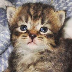 #kitten #threeweeks #blueeyes #cute #kittensfarm Kittens, Cats, Blue Eyes, Photo And Video, Animals, Instagram, Cute Kittens, Gatos, Animales