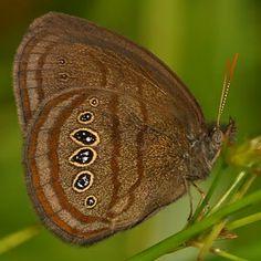 Mitchell's Butterfly | visit rlephoto com