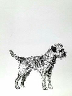 Border Terrier sketch...