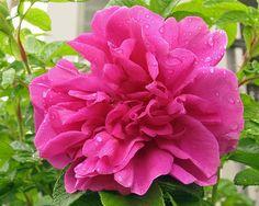 Hansa Rose