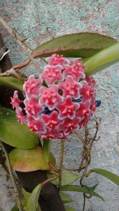 Hoya pubicalix ssp Campo limpo paulista Sp Brazil