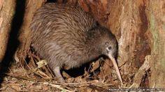 Nova Zelândia vai gastar R$ 25 milhões para salvar pássaro kiwi de extinção