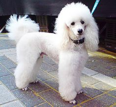 color your poodle - Google Search