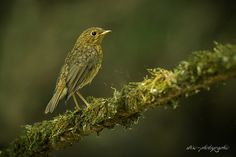 juvénile européan robin by wise photographie on 500px