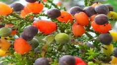 Kahikatea Fruit