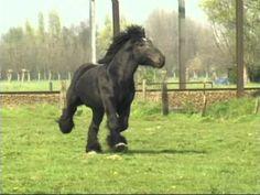 Most Beautiful and Elegant Belgian Draft Horse - Buffalo van 't Zwaluwnest - YouTube