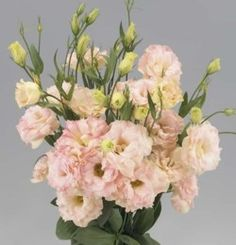 Lisianthus Super Magic Peach wp.jpg (250×260)