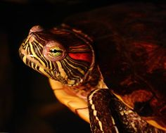 My red ear slider - got her for Dad when she was the size of a loony, now she's about Red Eared Slider, Sliders, Animal Pictures, Turtle, Pets, Animals, Tortoise, Images Of Animals, Animaux