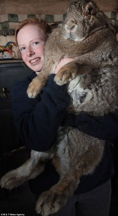 Me iz a big bunny wabbit!   King rabbit: Cindy Winson, 17, struggles to hold her record-breaking monster rabbit Ralph with his huge Hobbit-like feet. He is believed to be the biggest bunny in the country