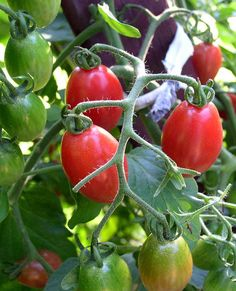 Fertilizing provides plants like these tomatoes with lots of much-needed nitrogen.