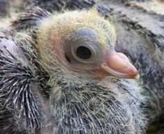 Learn how to raise young pigeons, or squabs, for highly desirable meat. Squab's can be costly to raise but are highly desirable to upscale restaurants. Baby Pigeon, Dove Pigeon, Baby Chickens, Raising Chickens, Backyard Farming, Chickens Backyard, Pigeon Meat, Ara Bleu, Pigeon