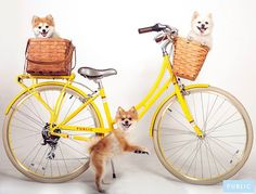 Public Bikes new Paws & Pedals tumblr page celebrates all things related to dogs and bicycles!