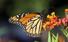 Monarch butterflies may be gone in a generation thanks to Monsanto's roundup.