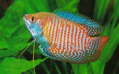 Want to learn more about Dwarf Gourami? Check out the Dwarf Gourami Wiki and if they are right for your aquarium. Dwarf Gourami for sale Tropical Aquarium, Tropical Fish, Aquarium Ideas, Tropical Freshwater Fish, Freshwater Aquarium Fish, Fish Home, Pet Fish, Fish Fish, Animales