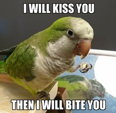 I will kiss you - THEN I will bite you. Monk Parakeet, Parakeet Bird, Funny Birds, Cute Funny Animals, Funny Pets, Pretty Birds, Beautiful Birds, Bird Breeds, Bird Mom