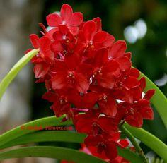 Thailand rare orchid plants and flowers Unusual Flowers, Rare Flowers, Amazing Flowers, Colorful Flowers, Beautiful Flowers, Red Orchids, Vanda Orchids, Beautiful Flower Quotes, Orquideas Cymbidium